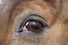 Das Auge ist die Seele des Pferdes
