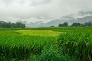 Reisfelder im Regen